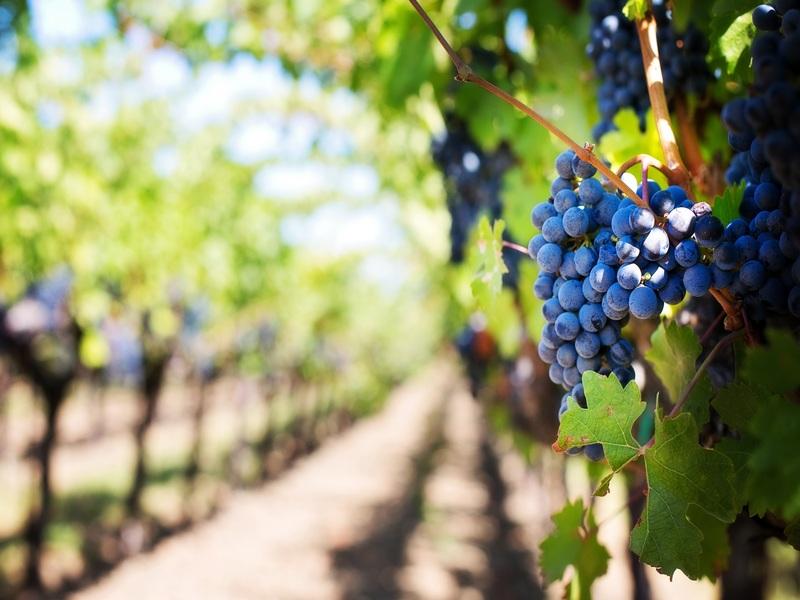vigneto con uva in primo piano, tour dei vini catalani, barcellona