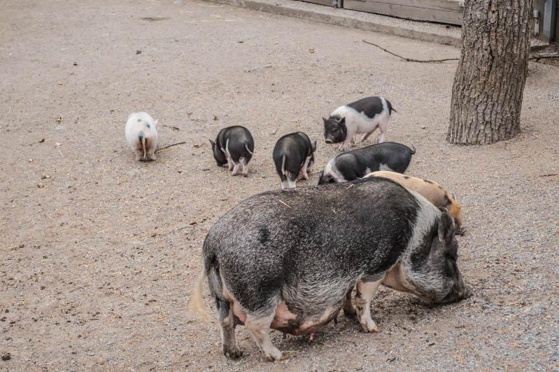 porcellini nel museo di skansen di stoccolma