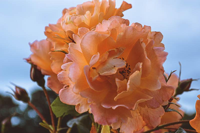 fiori di vigelandsparken