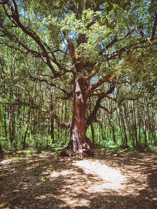 albero del capitano bosco delle pianelle: cosa vedere in valle d'itria